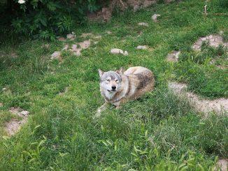 Journée au parc des loups du Gévaudan